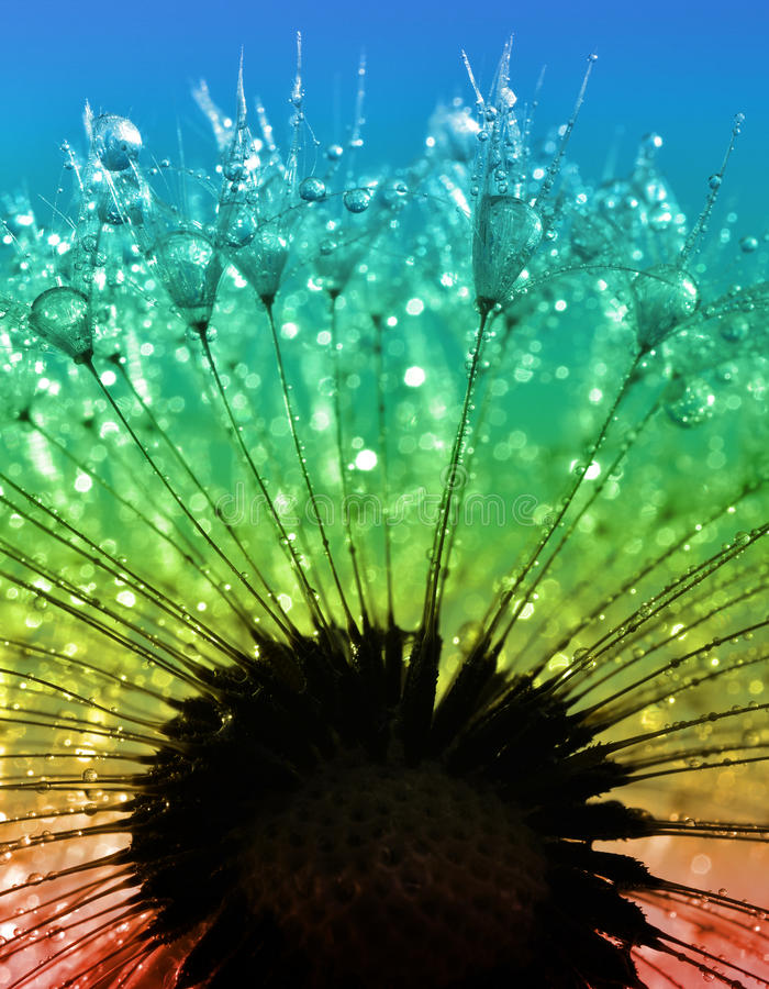 Download Dewy dandelion stock photo. Image of tranquil, plant - 39239546