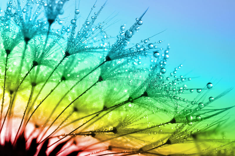 Dewy dandelion. Flower close up royalty free stock image