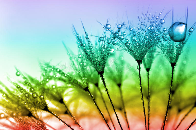 Dewy dandelion. Flower close up royalty free stock photo