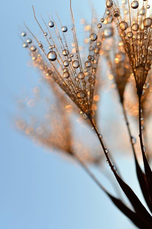 Dewy dandelion flower. At sunrise close up stock photo