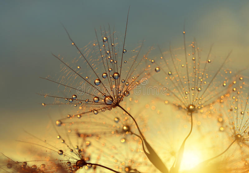 Dewy dandelion flower. At sunrise close up. Natural backgrounds royalty free stock photo