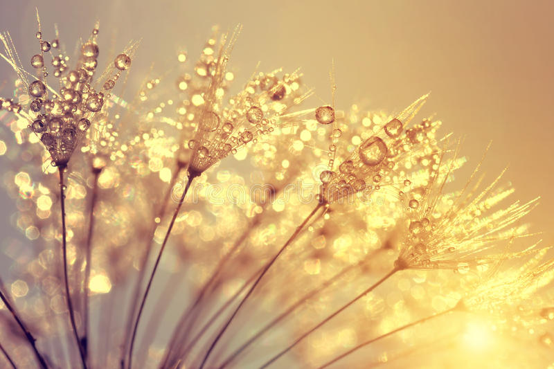 Dewy dandelion flower. At sunset close up royalty free stock photography