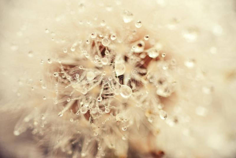Dewy dandelion flower with water drops royalty free stock photography