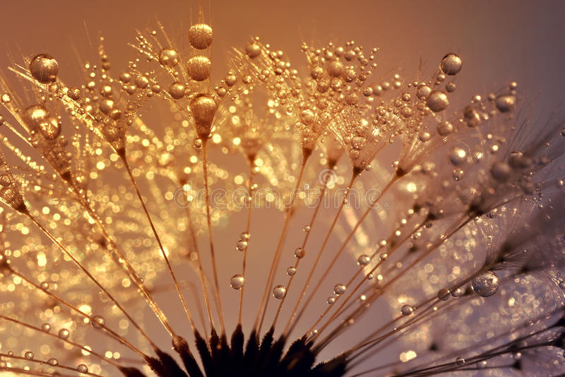 Dewy dandelion. At sunrise close up royalty free stock photography