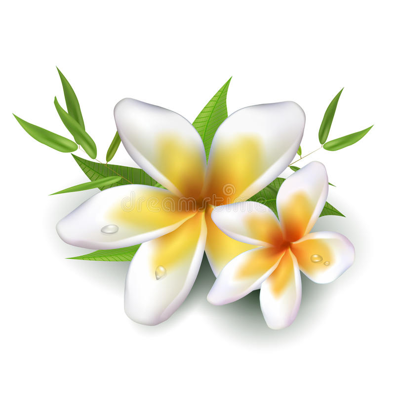 Dewy frangipani flowers with leafs. On white background. Vector illustration stock illustration