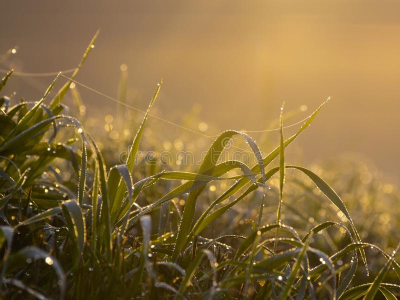Dewy grass with spider web stock photo