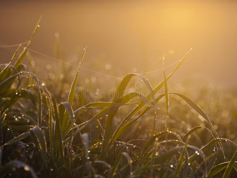 Dewy grass with spider web royalty free stock images