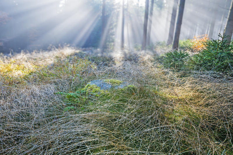 Dewy grass - sun and fog. Dewy grass in the morning forest royalty free stock images