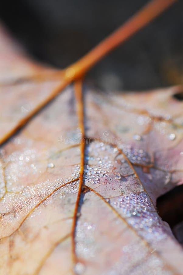 Dewy leaf. Dewy fallen maple leaf in autumn forest, macro stock images