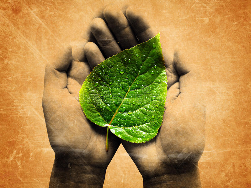 Dewy leaf in a hands. Grunge image of green dewy leaf in a hands stock photo