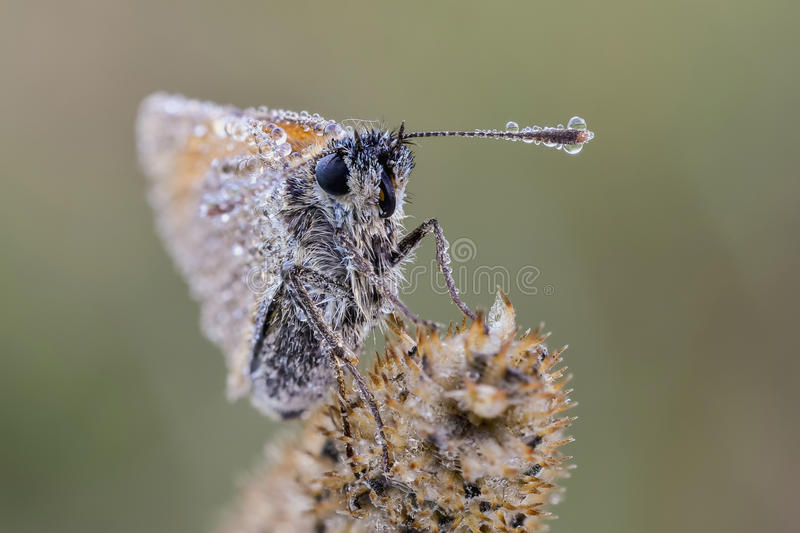 Dewy moth. Dewy small skipper Thymelicus sylvestris sitting on bent atearly morning. Close up royalty free stock photography