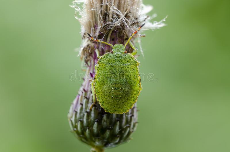 Dewy nymph of Green Shieldbug in field stock image