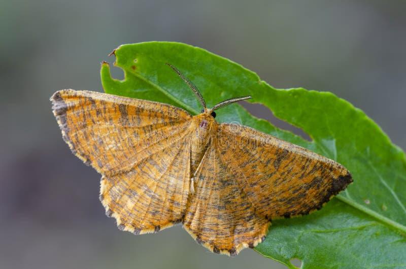 Dewy Orange Moth sitting on leaf. Dewy Orange Moth Angerona prunaria sitting on leaf at early morning. Close up royalty free stock photo