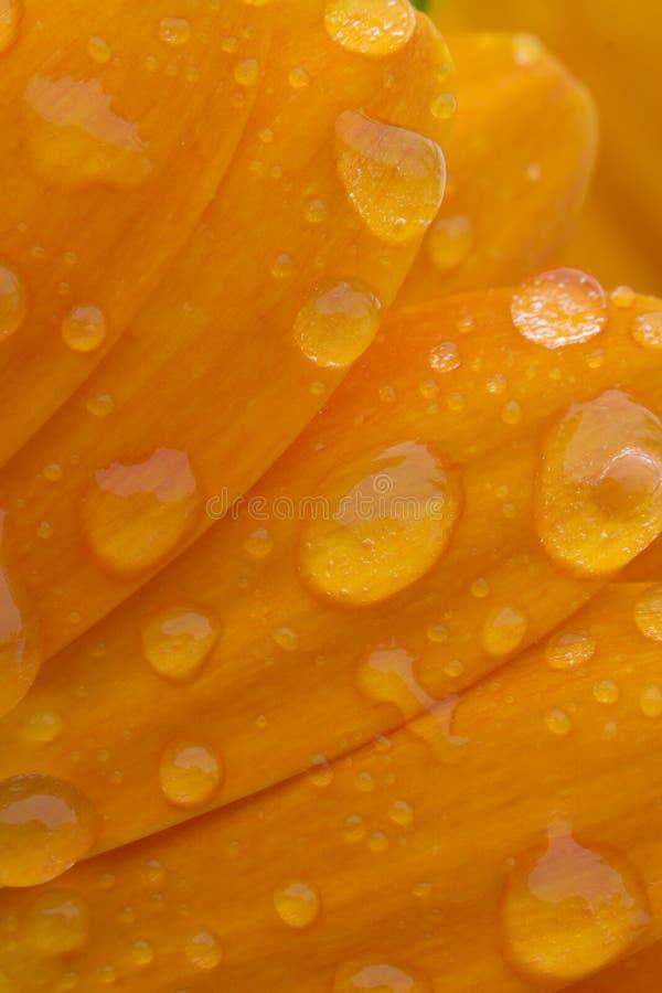 Dewy petals stock photography