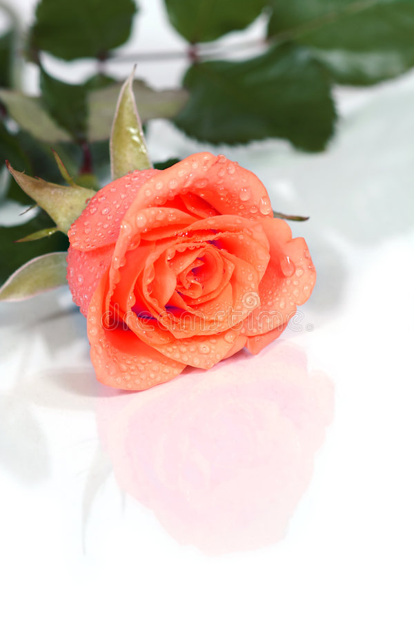Dewy rose. Write your own text on it! a dewy rose royalty free stock images