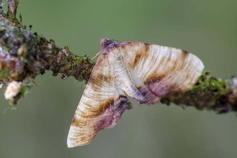 Dewy Scorched Wing sitting on twig. Dewy Scorched Wing Plagodis dolabraria sitting on twig at early morning. Close up stock photo