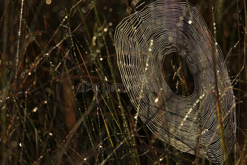 Dewy spiderweb at sunrise, Big Cypress National Preserve stock photography