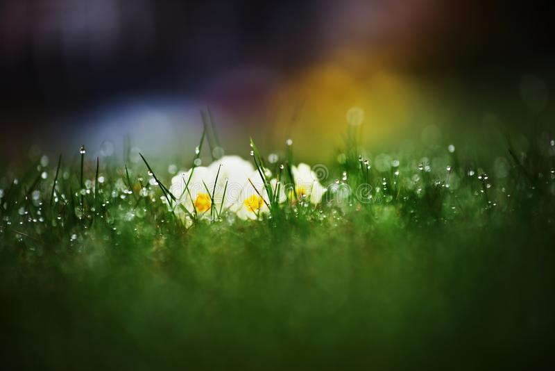 Dewy young green grass with growing pansy on spring. stock photography