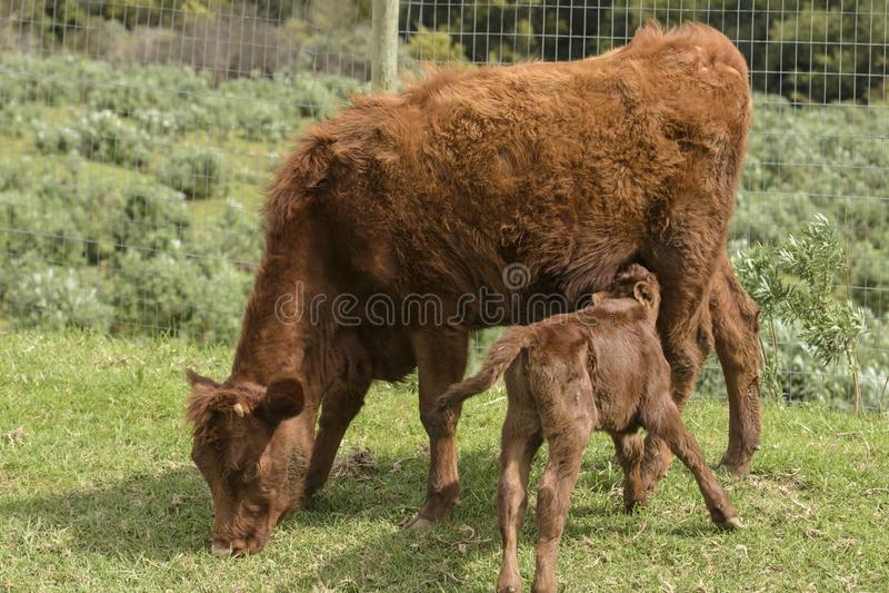 Dexter Cow rojo, consideraba una raza rara, con el becerro bebiendo de ella fotos de archivo