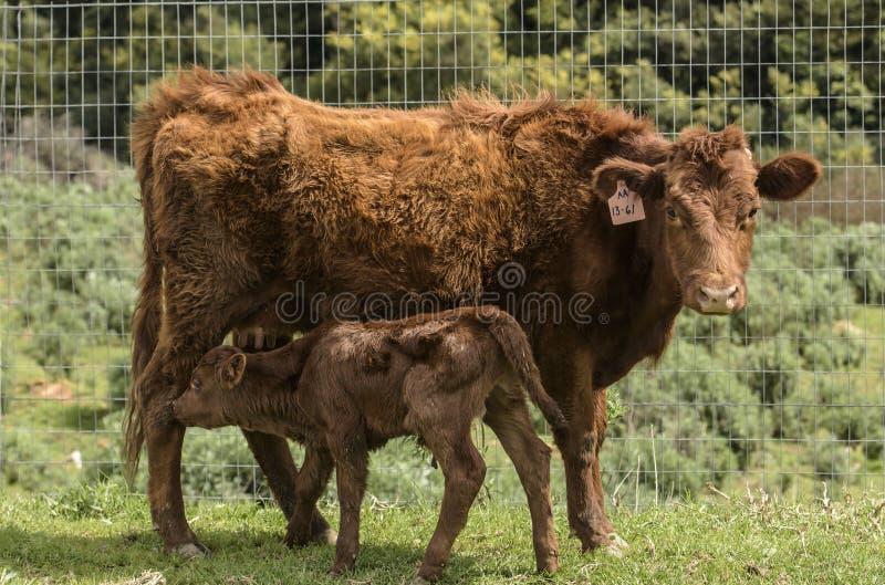 Dexter Cow vermelho, considerou uma raça rara, enfrentando a câmera, com a vitela recentemente nascida por seu lado fotos de stock