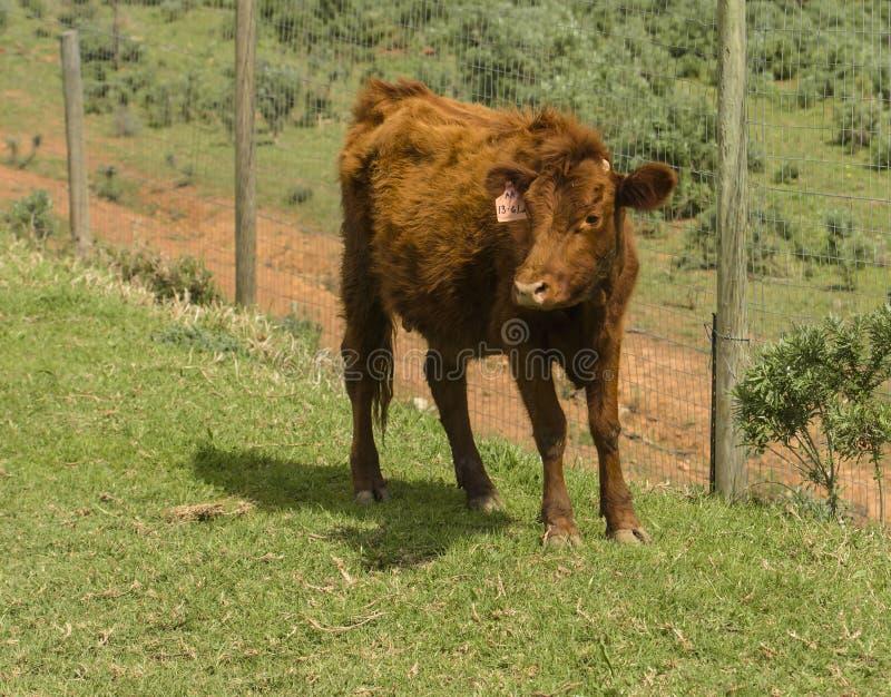 Dexter Cow vermelho, considerou uma raça rara, estando enfrentando a câmera no pasto verde foto de stock royalty free