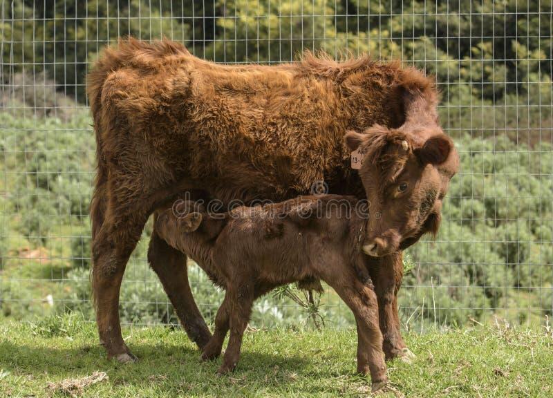Dexter Cow vermelho, considerou uma raça rara, nudging sua vitela recentemente nascida para beber imagem de stock royalty free