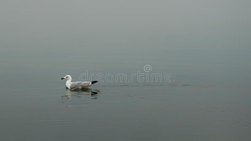 Dey the only floating in the Sea Gull,. Dey the only floating in the Sea Gull stock photography