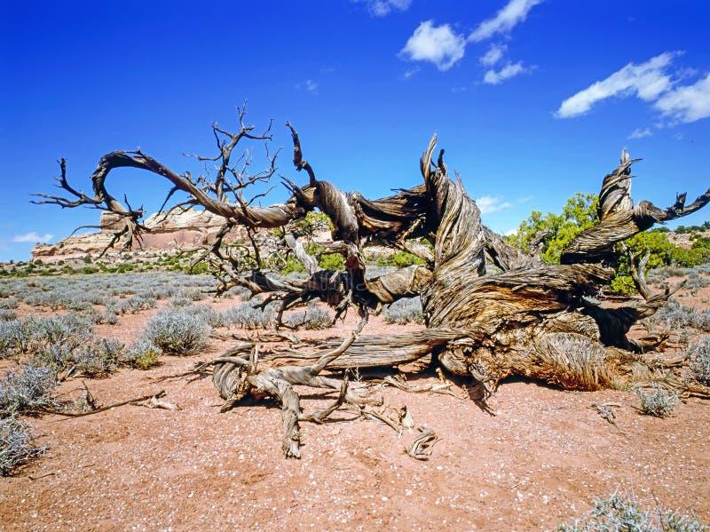 Dey Juniper-boom in woestijn, Utah stock afbeelding