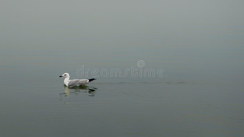 Dey la única flotación en la gaviota, fotografía de archivo