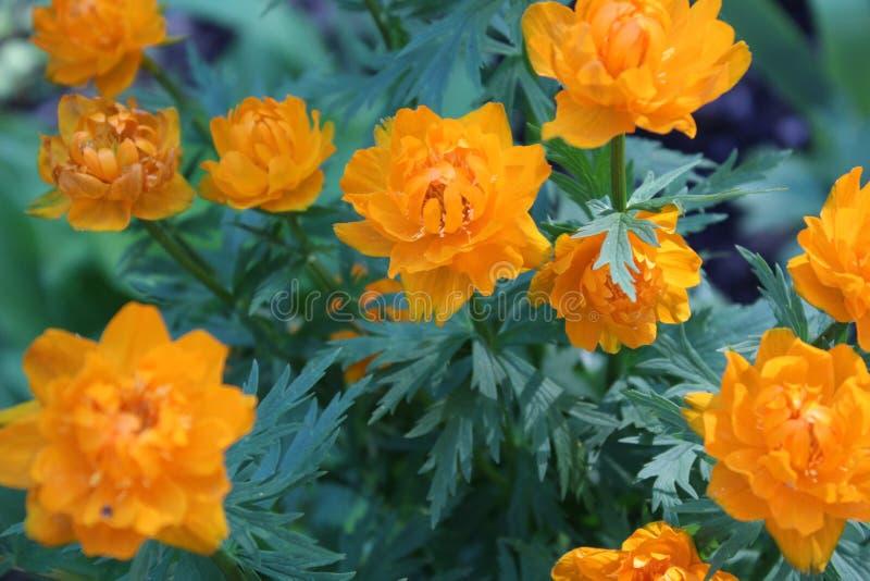 Deze bloem is zeldzaam in onze bossen stock foto's