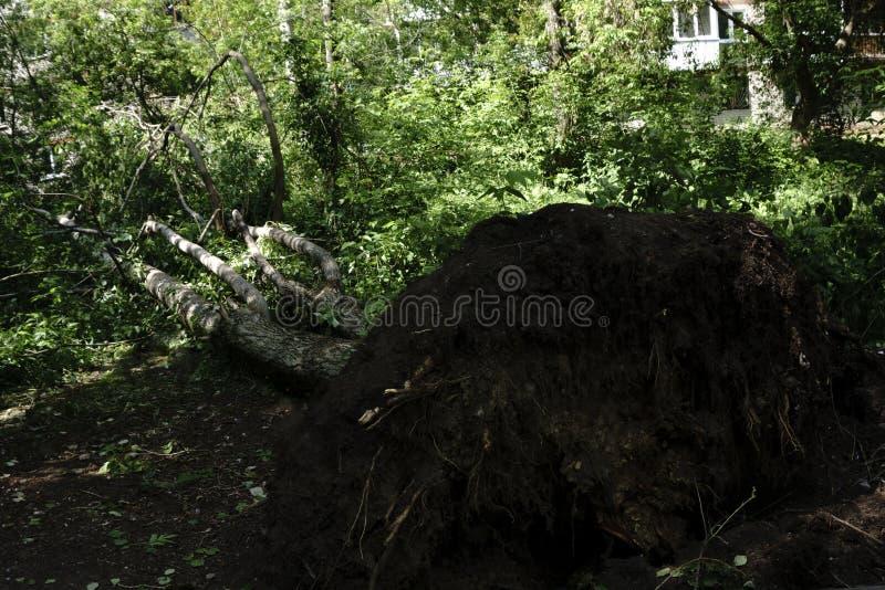 Deze boom werd neergehaald door een onweer De enorme kracht heeft de wortels van de boom van de grond ter sprake gebracht royalty-vrije stock fotografie