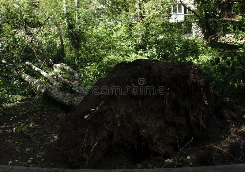 Deze boom werd neergehaald door een onweer De enorme kracht heeft de wortels van de boom van de grond ter sprake gebracht stock foto's