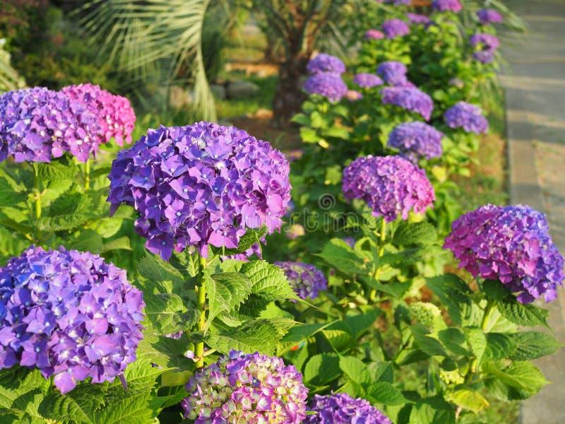 Deze geheime tuin is volkomen dromerig Opzichtige bloemen in de zomer Hydrangea hortensiabloesem op zonnige dag Bloeiende hortens royalty-vrije stock foto