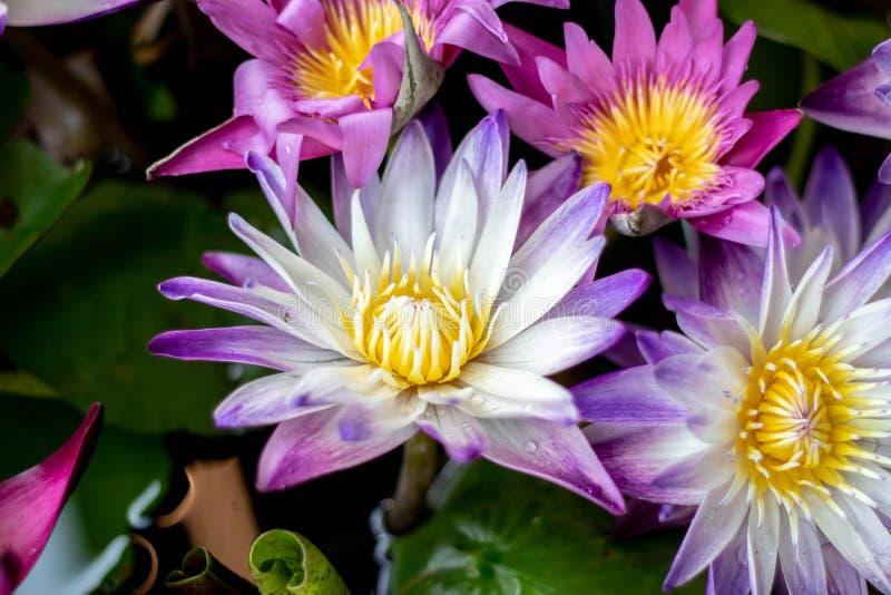 Deze mooie lotusbloembloem wordt gecomplimenteerd door de rijke kleuren van de diepe blauwe waterspiegel Verzadigde kleuren stock fotografie