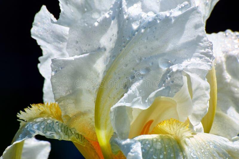 Deze populaire Iris stelt nooit met zijn grote, witte bloemen teleur tweemaal zettend op een charmant tentoongesteld voorwerp per stock afbeeldingen