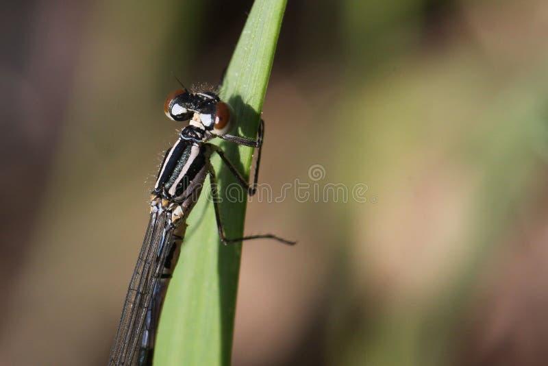 Dgagonfly стоковые изображения