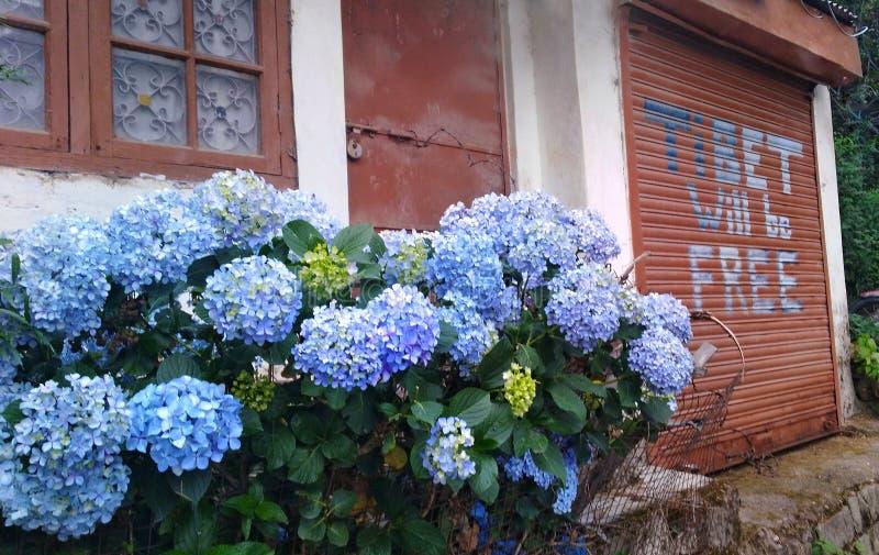 Dharamsala, Himachal Pradesh/India - 17 06 2018 TTibet sarà casa libera dei fiori fotografia stock