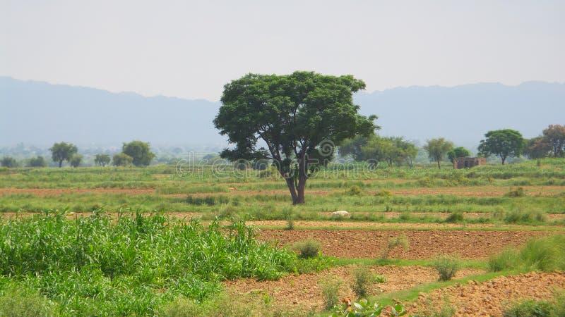 Dharek树 库存图片