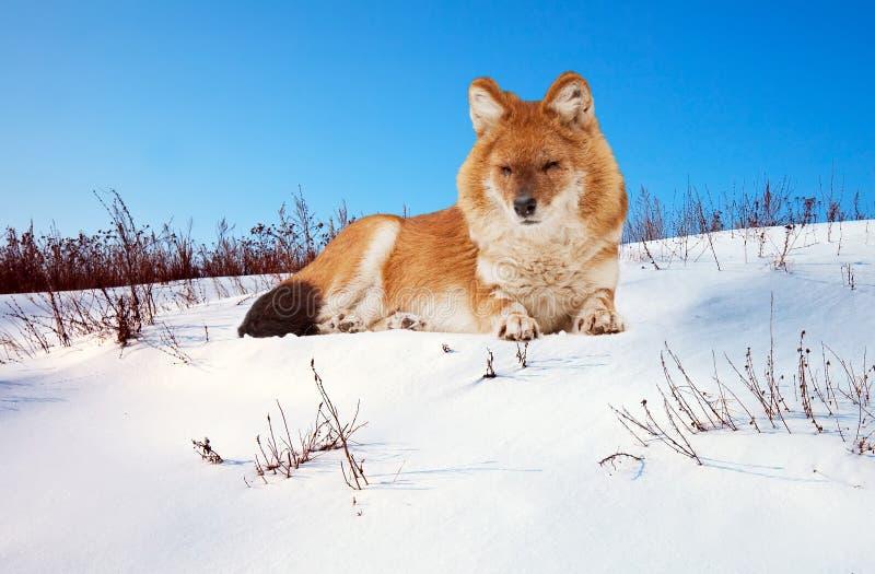Dhole op sneeuw royalty-vrije stock foto's