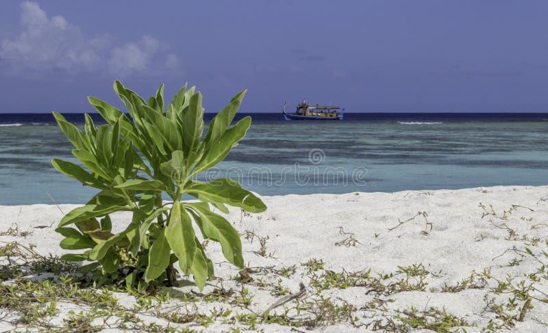 Dhoni devant une plage merveilleuse en Maldives image stock