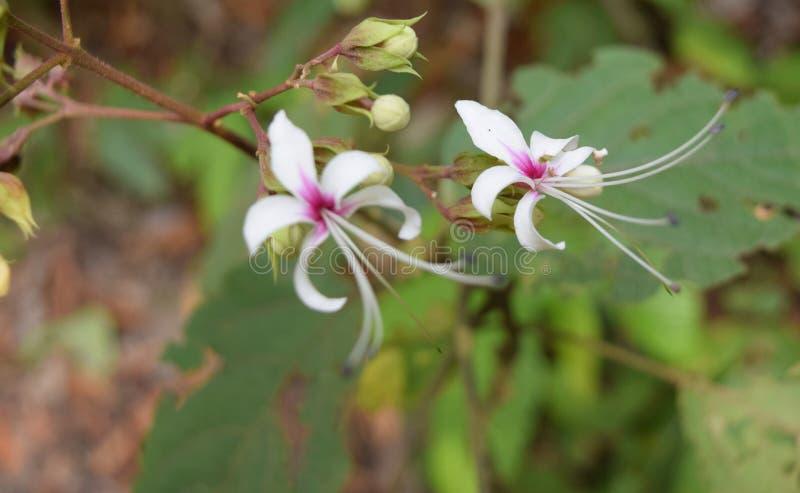 Dièse et tache floue - fleurs jumelles - fleurs blanches avec Violet Center avec le fond vert photographie stock