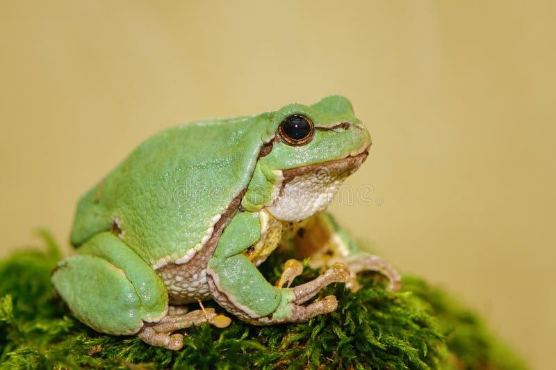 Di albero della rana della hyla di arborea arborea verde europeo del Rana precedentemente fotografia stock