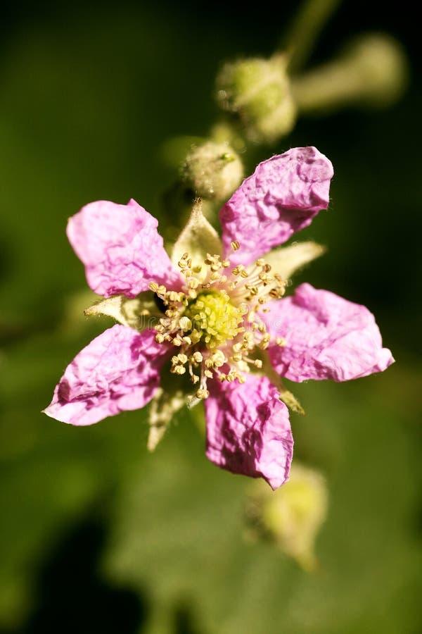 Di arti del fondo della famiglia di acni rosacee di rubus occidentalis del fiore macro nei prodotti delle stampe di alta qualità  immagine stock
