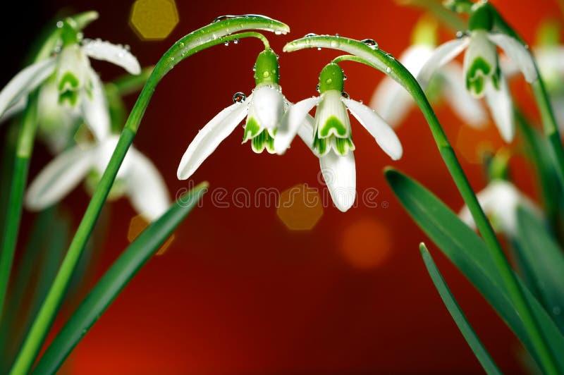 di bucaneve & di x28 bianco verdi coperti di pioggia; flower& x29 di inverno; sui precedenti con bokeh fotografie stock