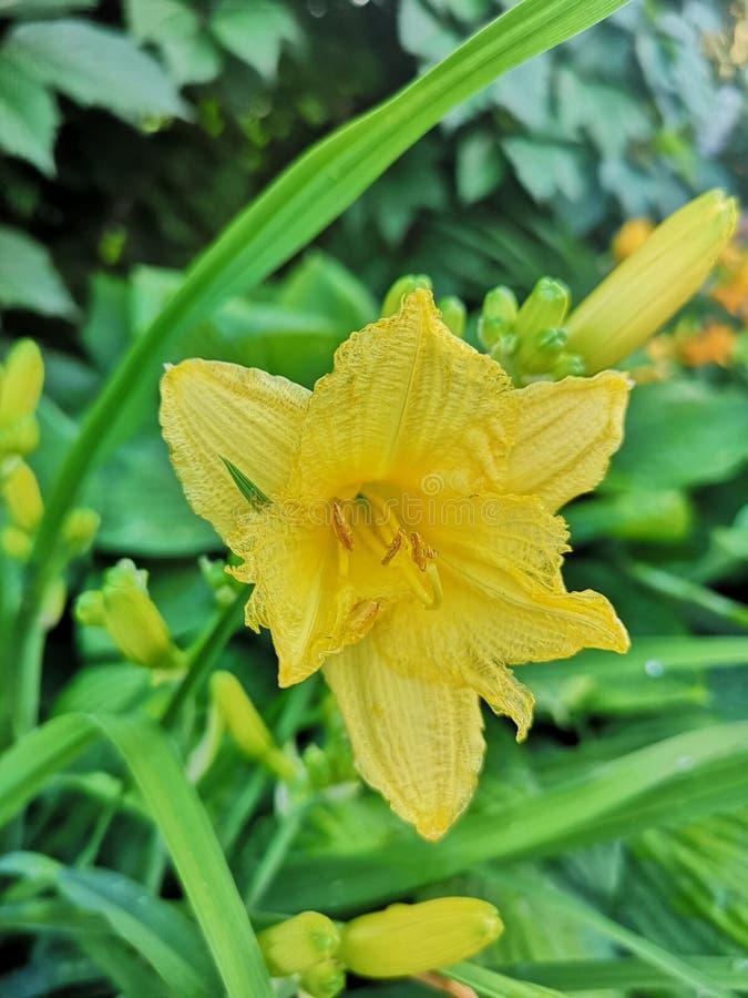 Di colore giallo fiore daylily immagini stock