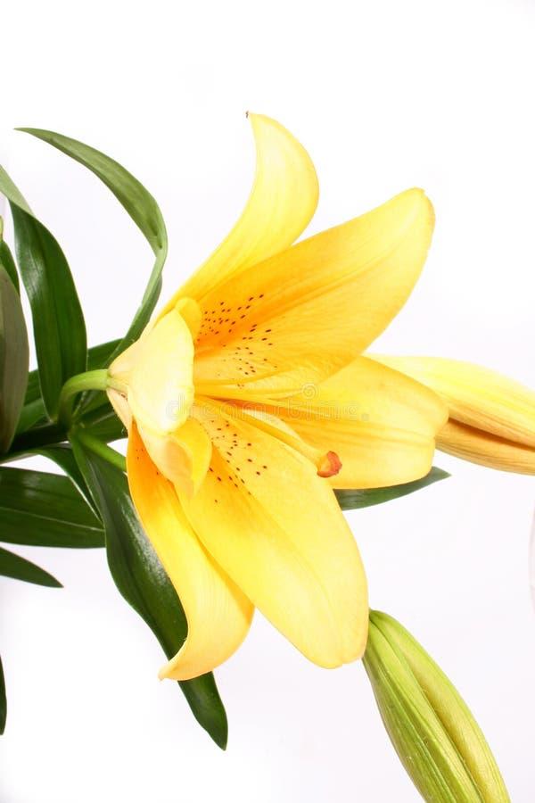 Di colore giallo fiore lilly sulla b bianca immagini stock libere da diritti