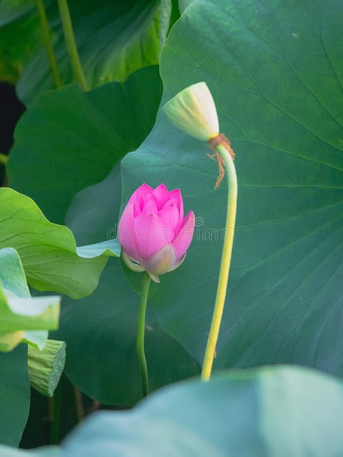di estate, i fiori del loto nello stagno sono appena come un fatato immagini stock