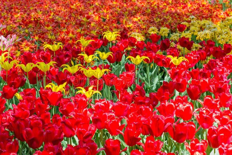 di fiori sboccianti colorati Multi fotografie stock