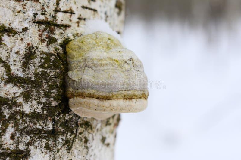 Di Fomitopsis di betulina il betulinus di Piptoporus precedentemente, conosciuto comunemente come il polypore della betulla, sost fotografie stock libere da diritti