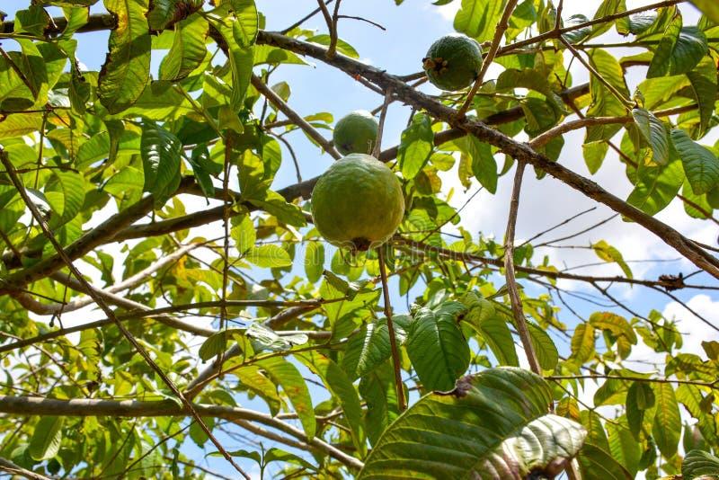 Di guaiavo verde che appende sull'albero nell'azienda agricola di agricoltura del Brasile immagini stock libere da diritti